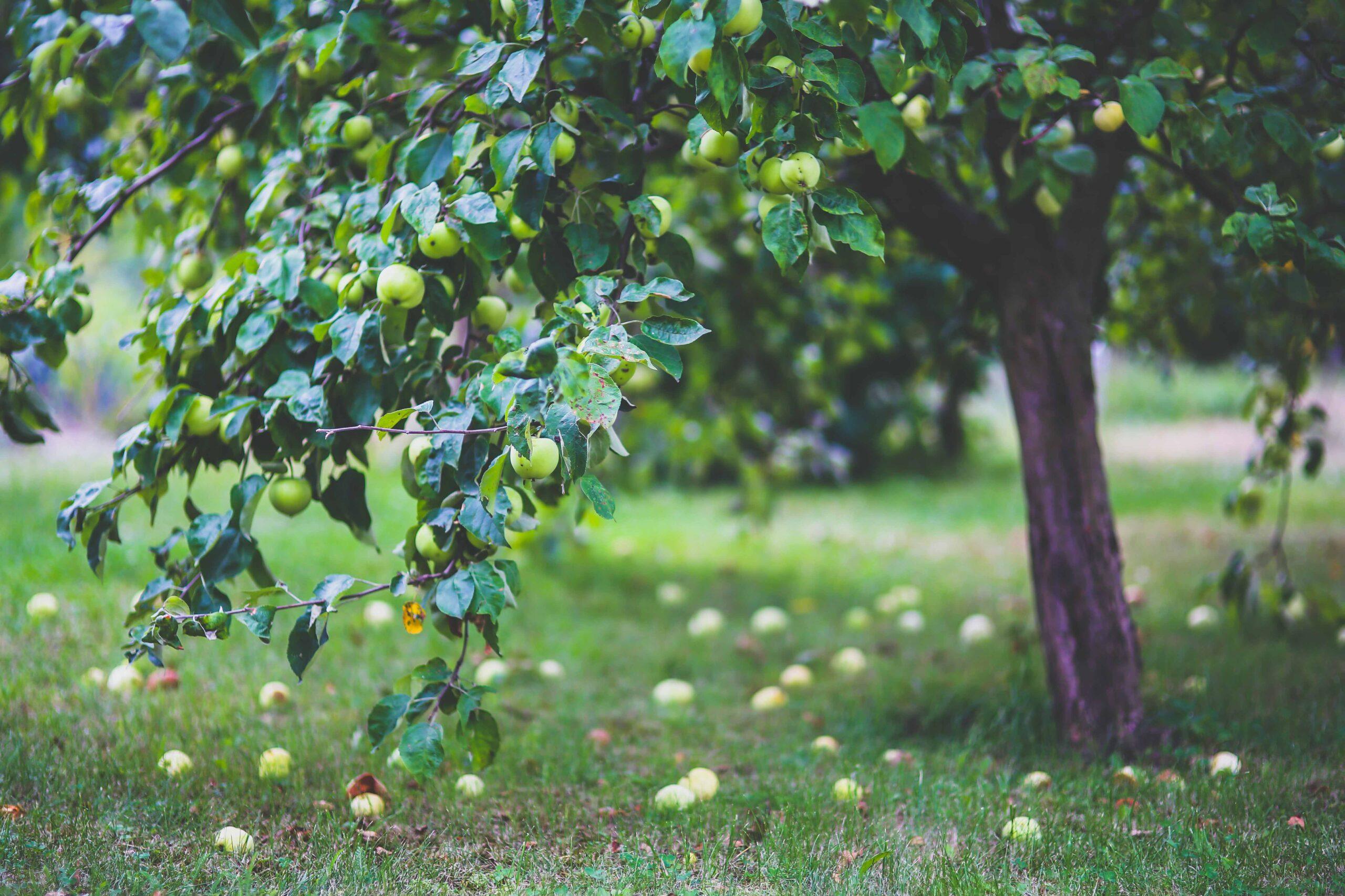 Baum Garten_3zu2